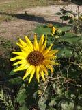 Sonnenblume, die durch MICH badet lizenzfreies stockfoto