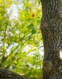 Sonnenblume, die in einem Baum wächst. stockbilder