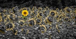 Sonnenblume, die sich traut, hinten zu schauen Lizenzfreie Stockfotos