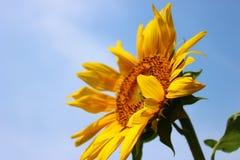 Sonnenblume, die Sonnenschein unter dem blauen Himmel gegenüberstellt Stockfotos