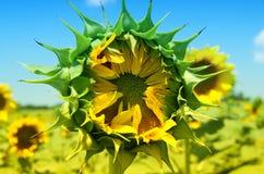 Sonnenblume, die wartet, um sich zu öffnen Stockfoto