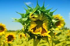 Sonnenblume, die wartet, um sich zu öffnen Lizenzfreie Stockfotos