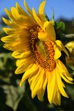 Sonnenblume in Dordogne-Landschaft stockfotos