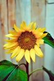 Sonnenblume draußen Stockfoto