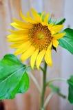 Sonnenblume draußen Lizenzfreie Stockfotos