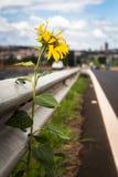 Sonnenblume durch die Seite der Straße Stockbild