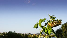 Sonnenblume an einem Sommerabend Lizenzfreies Stockbild