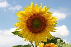 Sonnenblume an einem sonnigen Sommertag stockbilder