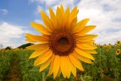 Sonnenblume an einem sonnigen Tag Lizenzfreie Stockfotos