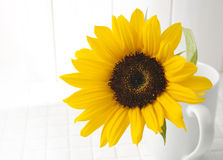 Sonnenblume in einem weißen Cup Lizenzfreies Stockbild
