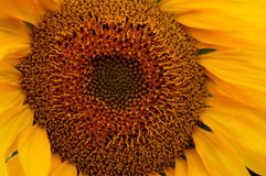 Sonnenblume-Energie Stockfotos