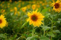 Sonnenblume-Energie Lizenzfreies Stockbild