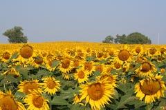 Sonnenblume-Feld Lizenzfreies Stockfoto