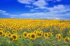 Sonnenblume-Feld Stockfotos
