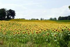 Sonnenblume-Feld Lizenzfreie Stockfotos