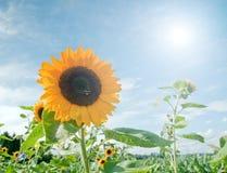Sonnenblume-Feld Stockfotografie