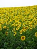 Sonnenblume-Feld Stockbilder