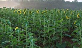 Sonnenblume-Feld im nebeligen Morgen Lizenzfreies Stockbild