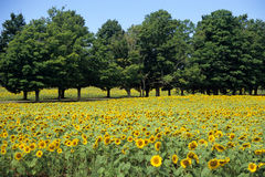 Sonnenblume-Feld mit Bäumen Lizenzfreie Stockfotos