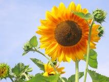 Sonnenblume - Fotos auf Lager Stockfotos