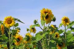 Sonnenblume - Fotos auf Lager Stockfoto