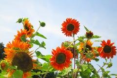 Sonnenblume - Fotos auf Lager Lizenzfreie Stockbilder