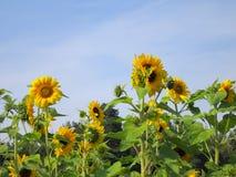 Sonnenblume - Fotos auf Lager Stockbilder