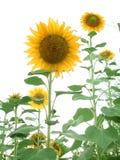 Sonnenblume-Garten Stockfoto
