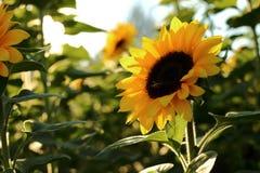 Sonnenblume gegen Abendsonne Stockfoto