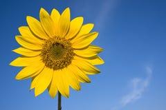 Sonnenblume gegen blauen Himmel stockbilder