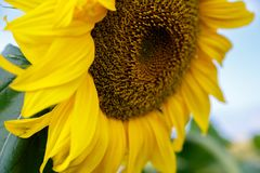 Sonnenblume gegen den blauen Himmel lizenzfreie stockfotografie