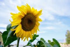 Sonnenblume gegen den blauen Himmel stockfoto
