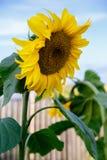 Sonnenblume gegen den blauen Himmel stockbild
