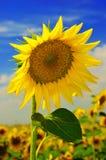 Sonnenblume gegen einen blauen Himmel Stockfoto