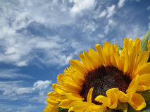 Sonnenblume gegen hellen bewölkten Himmel - Makro Lizenzfreies Stockbild
