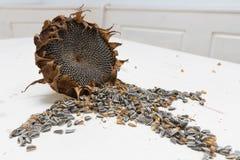 Sonnenblume geht Erntesamen voran Lizenzfreies Stockbild