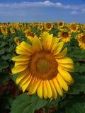 Sonnenblume-Getreide in Westtexas lizenzfreie stockbilder