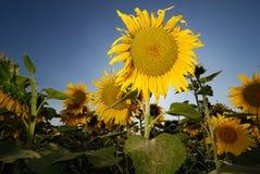 Sonnenblume getrennt Lizenzfreies Stockfoto