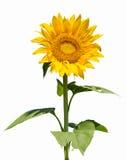 Sonnenblume getrennt Stockfotografie