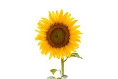 Sonnenblume getrennt Stockfotos