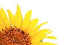 Sonnenblume, getrennt auf einem weißen Hintergrund Stockfotografie