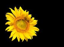 Sonnenblume getrennt auf Schwarzem Lizenzfreies Stockbild