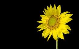 Sonnenblume getrennt auf schwarzem Hintergrund Stockfotos