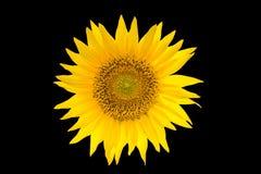 Sonnenblume getrennt auf schwarzem Hintergrund Gelbe Sommerblume Lizenzfreies Stockfoto
