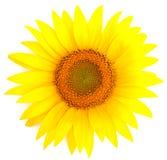 Sonnenblume getrennt auf Weiß Lizenzfreies Stockfoto