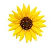 Sonnenblume getrennt auf Weiß Stockfotografie