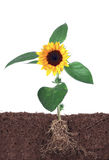 Sonnenblume getrennt auf Weiß mit Wurzel Lizenzfreie Stockbilder
