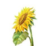 Sonnenblume getrennt auf white