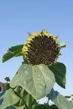Sonnenblume (Helianthus Annuus) Stockfoto