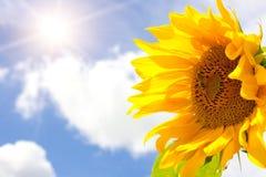 Sonnenblume, helle Sonne und blauer bewölkter Himmel Lizenzfreies Stockfoto